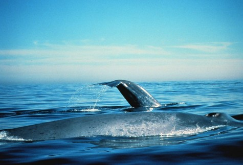 Blue Whales Of California Are Back To Historical Levels, Study Finds