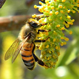 Studies show that Honey Bees can't smell flowers amid pollution
