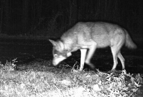 It's a Dog's Life Among Red Wolves in Eastern North Carolina