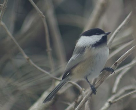 What Chickadees Can Tell Us About Climate Change