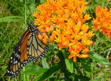 Environmental, Food Groups Want Endangered Species Protection For Monarch Butterfly