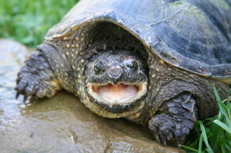 Trade Protections Proposed For Four Species Of Turtles