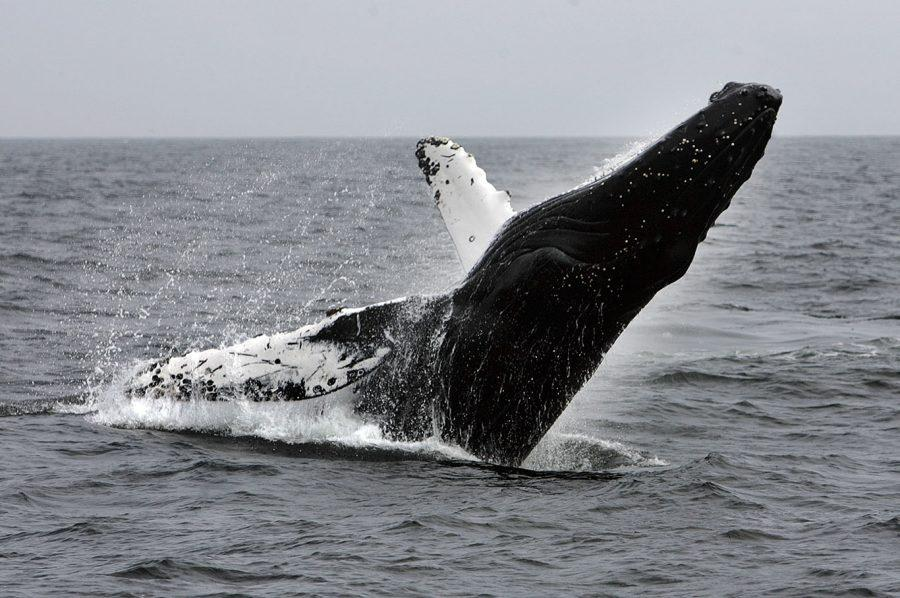 a+Humpback+whale+breaches+on+the+way+back+from+a+day+trip+on+Anacapa+Island%2C+off+the+coast+near+Ventura%2C+Calif.%2C+in+May+2008.+The+U.S.+government+on+Tuesday%2C+Sept.+6%2C+2016%2C+removed+most+of+the+world%26apos%3Bs+humpback+populations+from+the+federal+list+of+endangered+species.%28Spencer+Weiner%2FLos+Angeles+Times%2FTNS%29