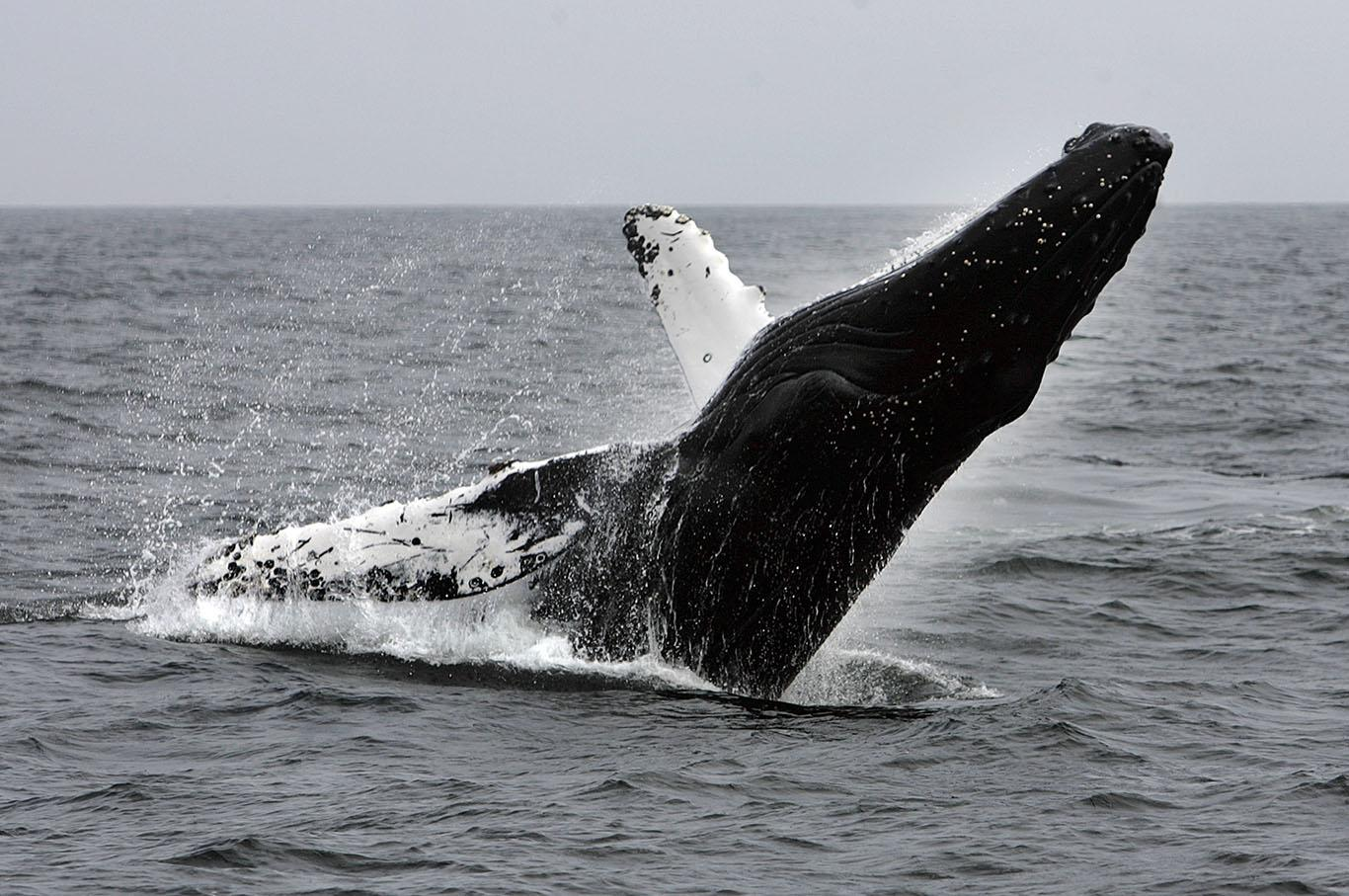 a Humpback whale breaches on the way back from a day trip on Anacapa Island, off the coast near Ventura, Calif., in May 2008. The U.S. government on Tuesday, Sept. 6, 2016, removed most of the world's humpback populations from the federal list of endangered species.(Spencer Weiner/Los Angeles Times/TNS)