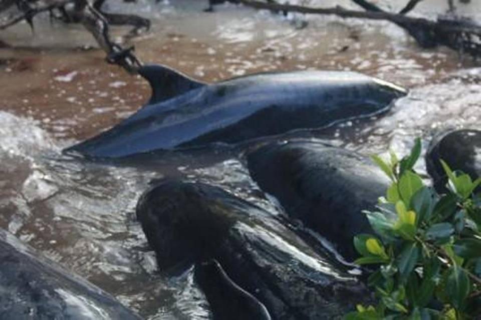 NOAA officials are investigating a mass stranding of false killer whales near Hog Key in Southwest Florida over the weekend. A whale was first sighted on Saturday. (National Oceanic and Atmospheric Administration)