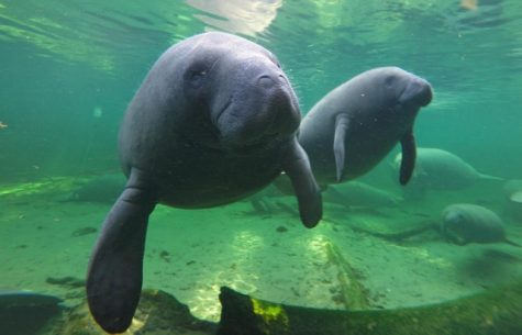 Florida wildlife officials encouraged by high manatee count