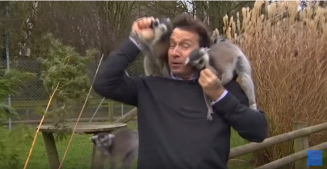 Reporter gets swarmed by lemurs.